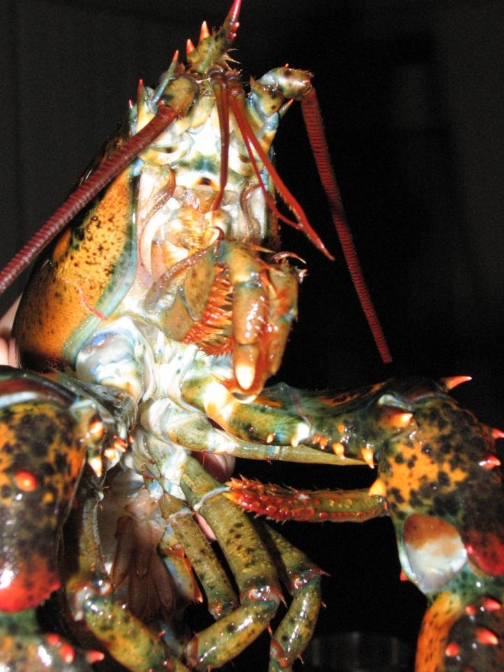Lobster_14